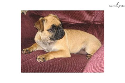 apricot colored pug meet murfy a pug puppy for sale for 125 apricot pug quot murfy quot