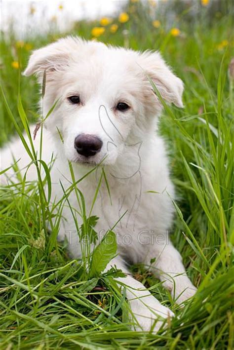 border collie puppies california best 25 white border collie ideas on border collie puppies dogs border