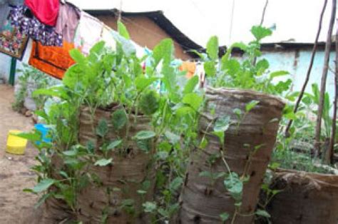 Kitchen Garden Farming In Kenya The Sack Gardens Of The Kibera Slum