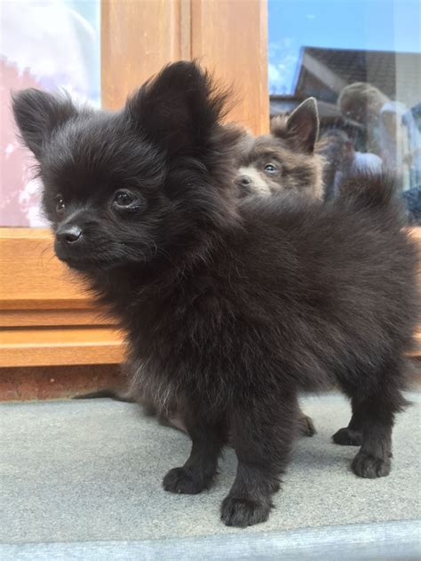 pomchi puppies beautiful pomchi puppy grimsby lincolnshire pets4homes