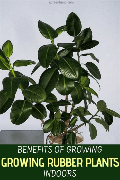 benefits  growing rubber plants indoors rubber plant