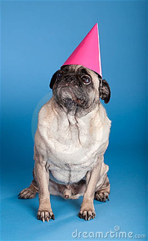 pug with birthday hat pug wearing birthday hat royalty free stock photo image 19877835
