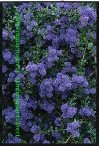 evergreen climbing plants for containers climbing plants direct