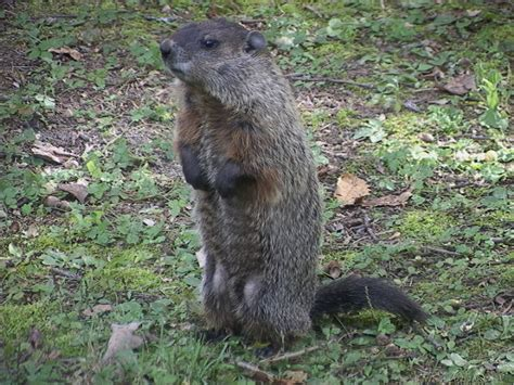 groundhog day groundhog name the liebers groundhogs versus mothers a field guide