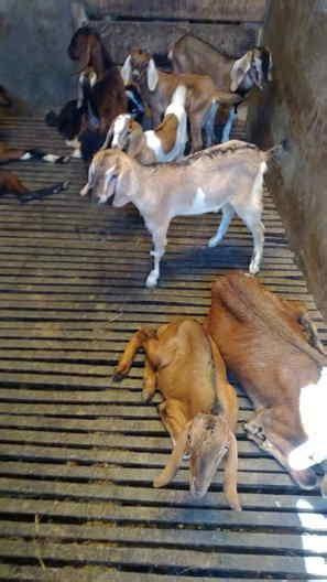 Fermentasi Pakan Ternak Menggunakan Em4 tips ternak kambing untuk sukses daging kambing