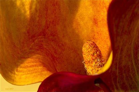 Zimmerpflanzen Bestellen 799 by Calla Bilder Fotos