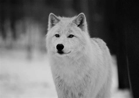 white wolf puppies snow white wolf image 110127 on favim