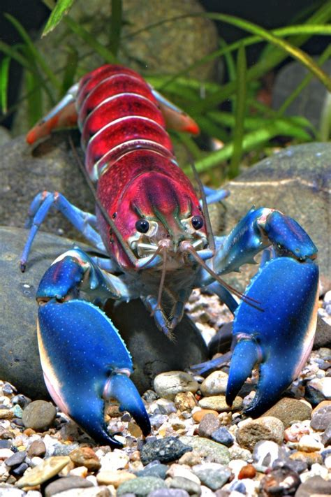 Where Were The Marble Crayfish Descoverd - rainbow colored crayfish discovered in indonesia heads