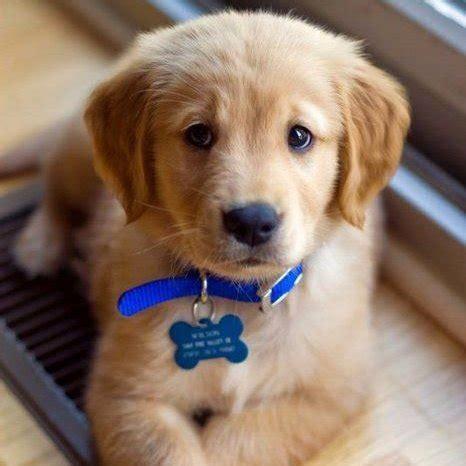 block golden retriever puppies golden puppies on quot puppy side eye golden retriever puppy quot