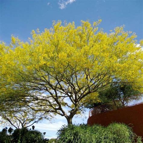buy jerusalem thorn parkinsonia aculeata  seeds
