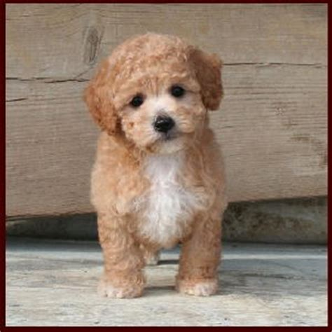 poochon puppies for sale bichon poodle poochon bichpoo puppies for sale iowa