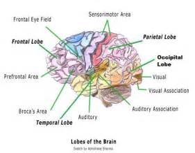 The brain and their functions diagram lobes of the brain