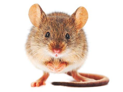 imagenes en movimiento de ratones 191 d 243 nde vive el rat 243 n