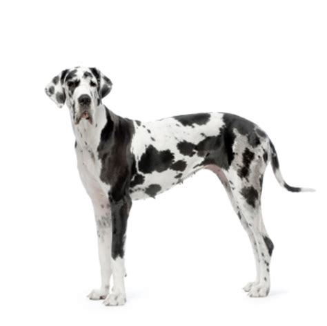 Great Dane Shedding Like by Great Dane Information Facts Pictures And Grooming