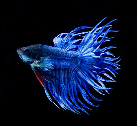 Ikan Cupang Crowntail Royal Blue blue crown betta fighting betta fish betta betta fish and siamese fighting