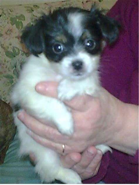 papillon cross shih tzu for sale papillon x shih tzu last 1 adorable