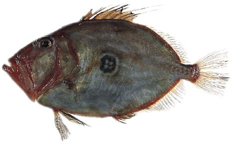 Ikan Dori dory