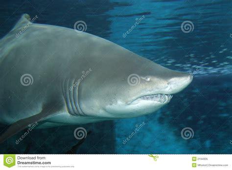 big fat shark royalty  stock photo image