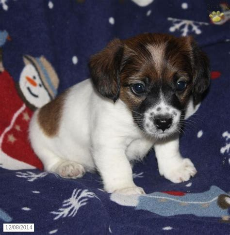 cocker spaniel mix puppies for sale 92 best images about adorable puppies for sale on morkie puppies for