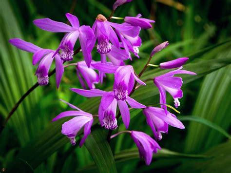 orchidea da giardino bletilla bletilla bletilla perenni bletilla