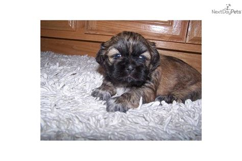 shih tzu puppies for sale in sacramento ca shih tzu puppy for sale near sacramento california 64747bd0 05e1