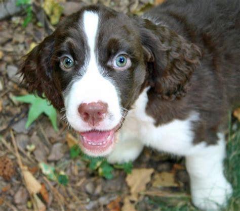 springer spaniel puppies nc springer spaniel puppies foto 2017