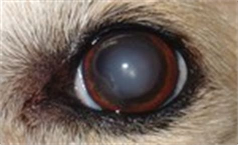 nuclear sclerosis in dogs eye problems 8 most common treatment options
