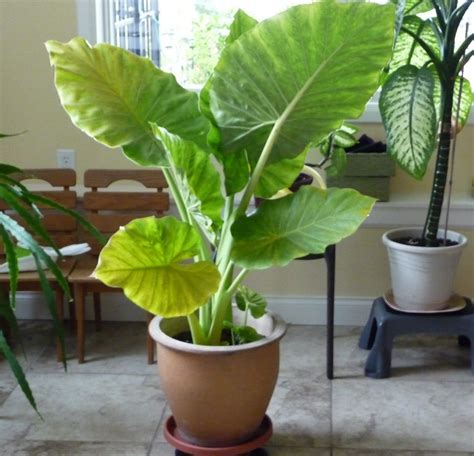 indoor elephant ear plant google search house plant pinterest elephant ears elephant