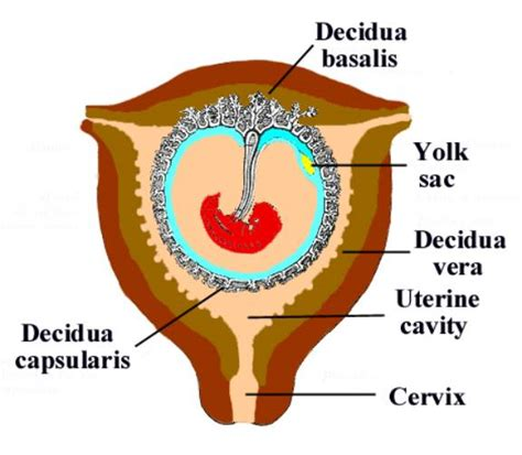 decidua basalis the uterus prior to the visualization of the gestational sac