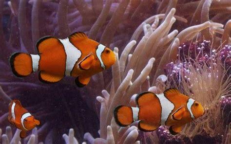 la chachipedia el pez payaso apexwallpaperscom animales vertebrados peces anfibios reptiles aves y