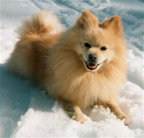 american eskimo cross pomeranian american eskimo and pomeranian mix future pets pomeranian mix