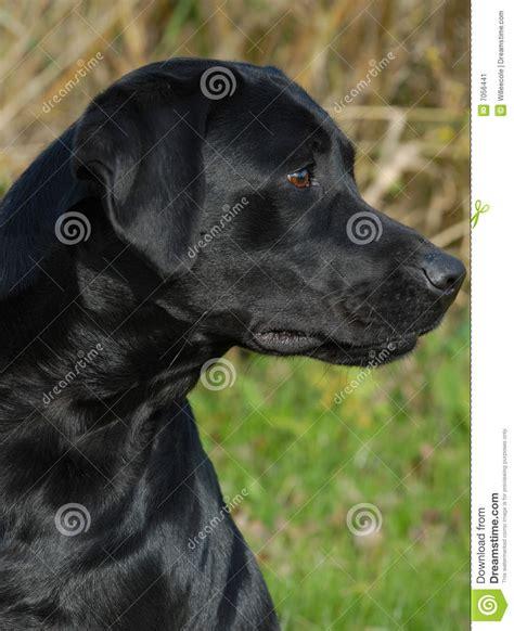 imagenes labrador negro perro perdiguero de labrador negro imagen de archivo
