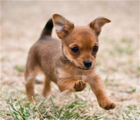 why do yorkies bark so much all about the chorkie the yorkie chihuahua mix dogable