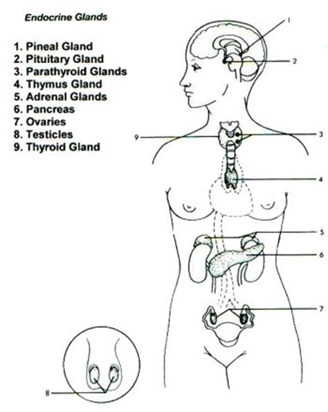 endocrine system pages coloring pages