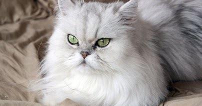 Sabun Untuk Kucing tips memilih sho kucing yang bagus dan cara merawatnya