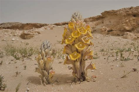 desert plants in doha search in pictures