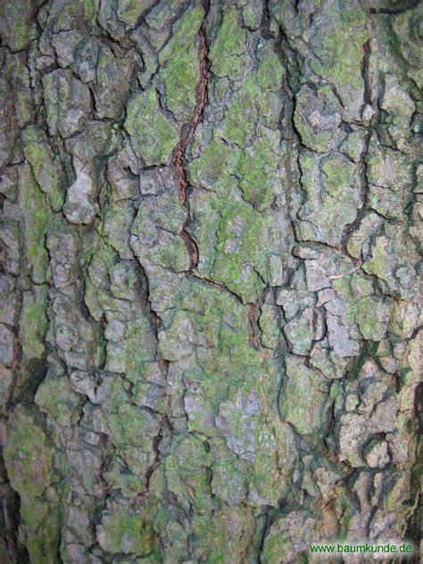 Rinde Der Eiche by Wintergr 252 Ne Eiche Quercus X Turneri Borke Bestimmen