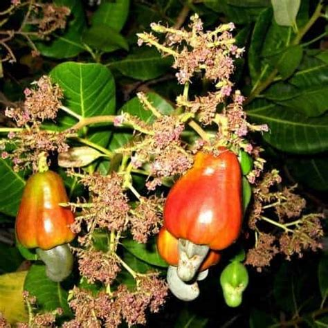 Penjual Bibit Buah Leci jual tanaman jambu monyet cashew bibit