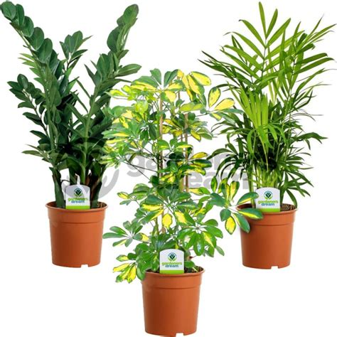 indoor plants uk indoor plant mix 3 plants house office live potted