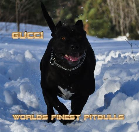 black pitbull puppies for sale black american pitbull puppy www pixshark images galleries with a bite