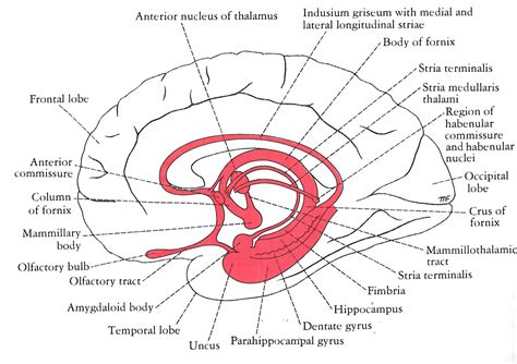 limbic system diagram week 3 lecture 1 at oceania of medicine