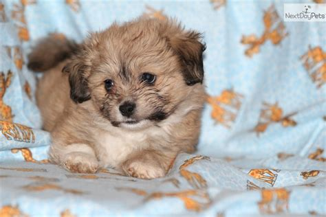 havanese puppies adoption havanese puppy rescue groups breeds picture