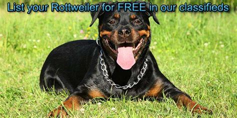 free rottweiler puppies rottweiler puppies for sale