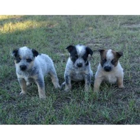 puppies in alabama australian terrier puppies for sale in virginia breeds picture