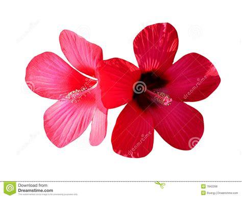 imagenes de flores libres flores rojas fotos de archivo libres de regal 237 as imagen