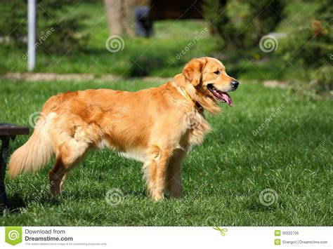 golden retriever outside in park royalty free stock image image 30222706