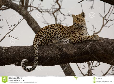 in tree leopard in tree royalty free stock images image 11369629
