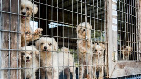 puppy mill pictures 100 dogs removed from suspected florida puppy mill wfla