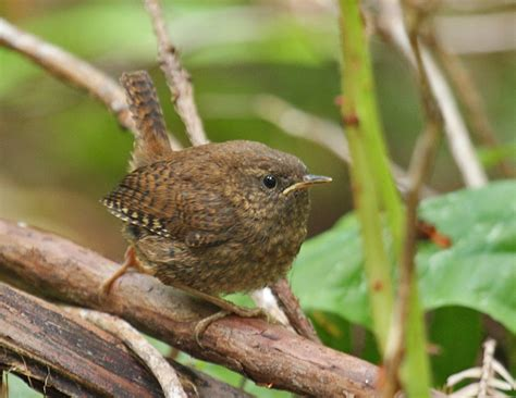 what the pacific wren hears birdnote