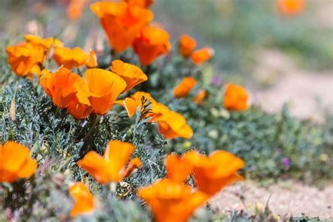 what color is poppy poppy flower meaning flower meaning